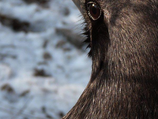 Animaux Guides – Le Corbeau et la vision