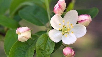 Crab Apple :  La  fleur qui m'a aidé à ouvrir la porte de l'acceptation.